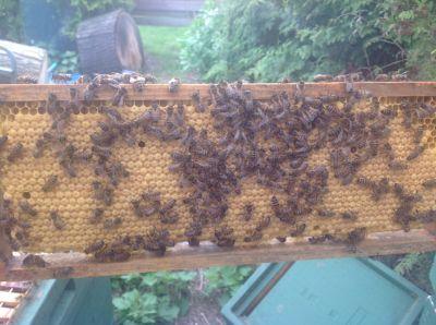 Bijen(1)