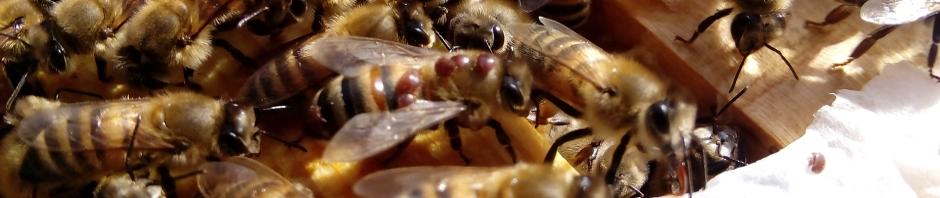Varroamijten uitwassen en volkjes besmetten (Altea,Spanje)
